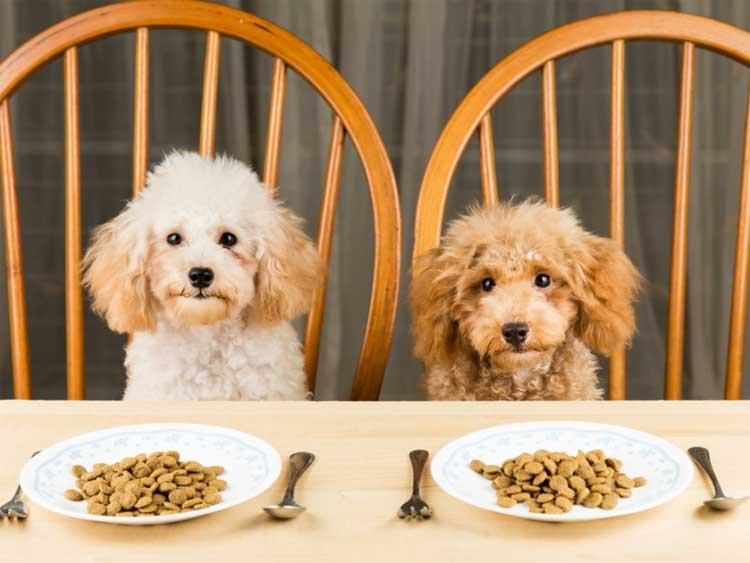 Best-Dog-Food-for-Poodle