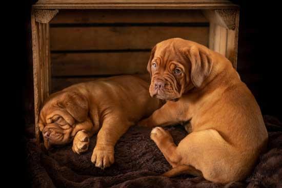 Dog-the-pug