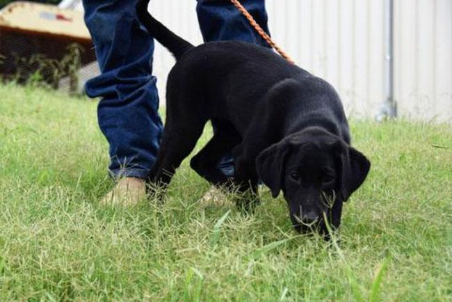 Dog-eats-grass