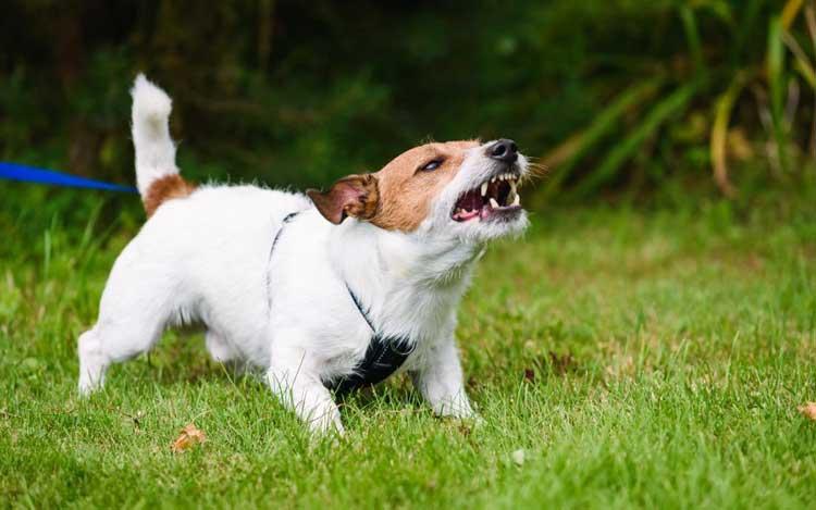 an-angry-dog