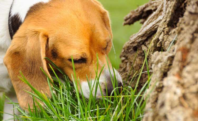 Dog-eat-grass
