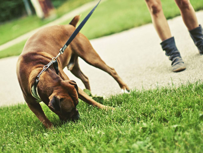 Why-do-dogs-eat-grass.