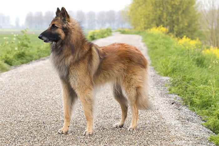 Belgian-Shepherd-Dog