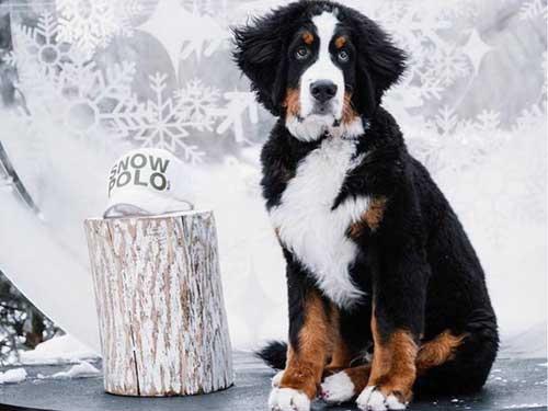 Bernese-Mountain-Dog-for-treatement