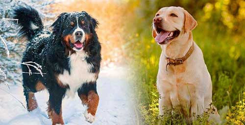 Bernese-Mountain for dog