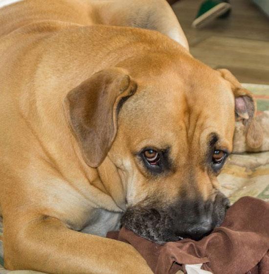 Boerboel-Dog-Care