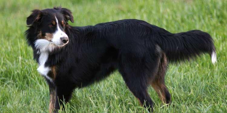 dog English-Shepherd
