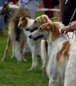 training borzoi dog