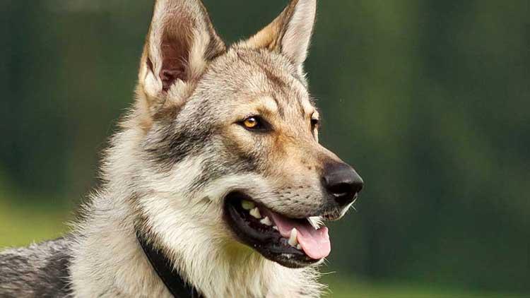 Czechoslovakian-Wolf