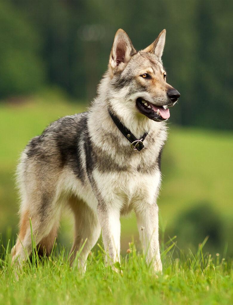 Czechoslovakian Wolfdog: