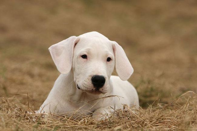 Dogo-Argentino
