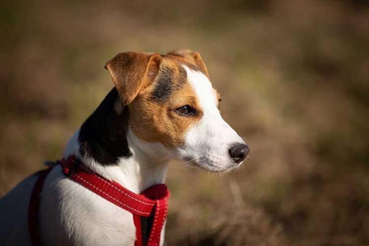 KONG Harness Train Your Dog