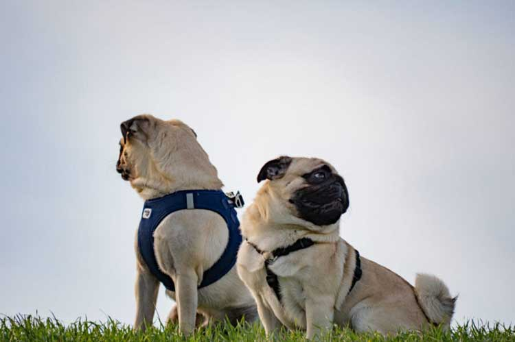 Pug-Life-Harness-Review