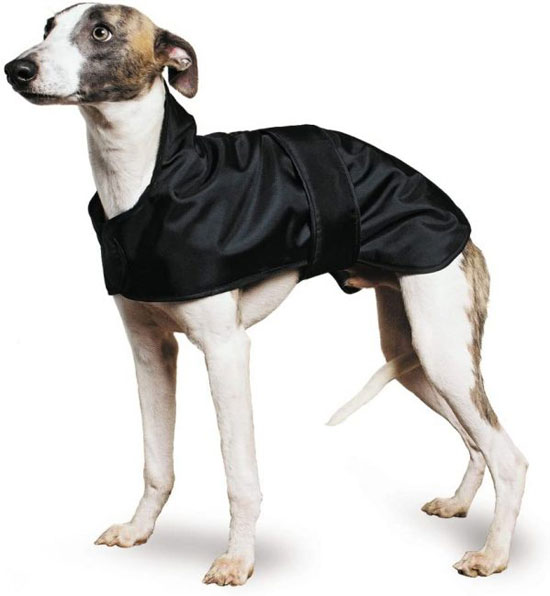 Whippet-Dog-Breed