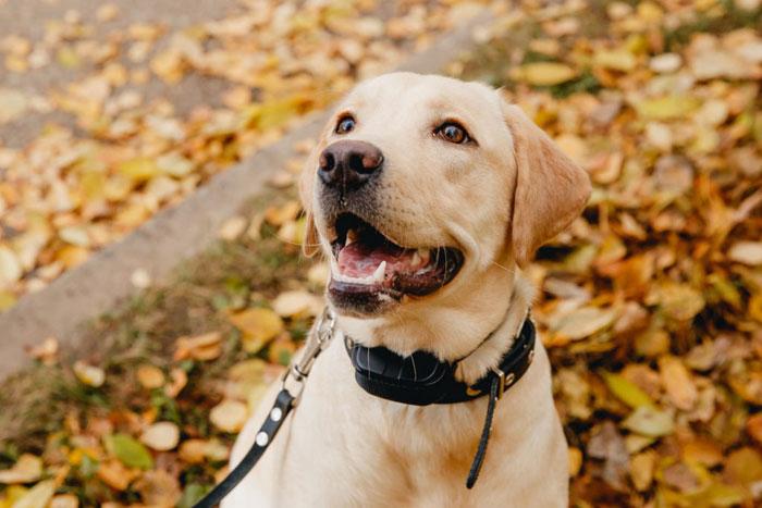 Dog-shock-collar