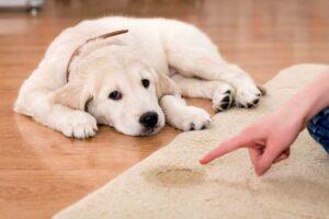 Golden-Retriever-Puppy-Accident