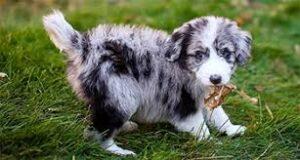 Mini-Australian-Shepherd-Dog
