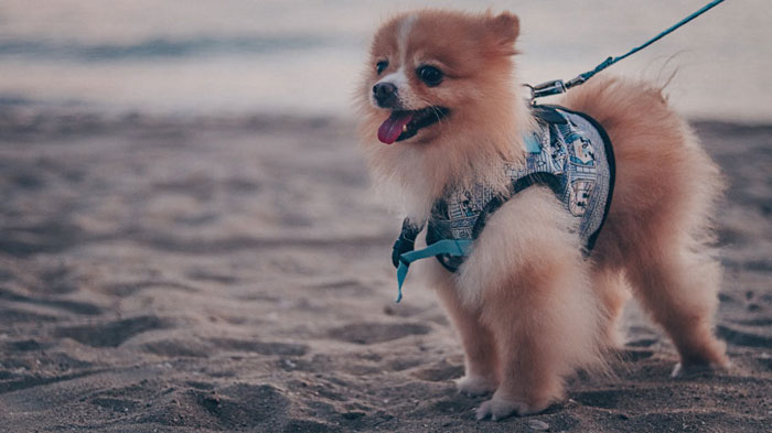 Pomeranian-Dog-Breed