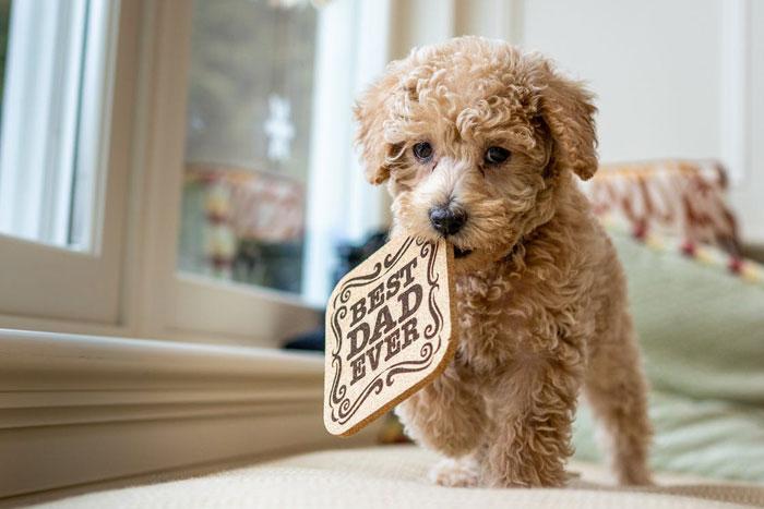 Poodle-Dog-Breed