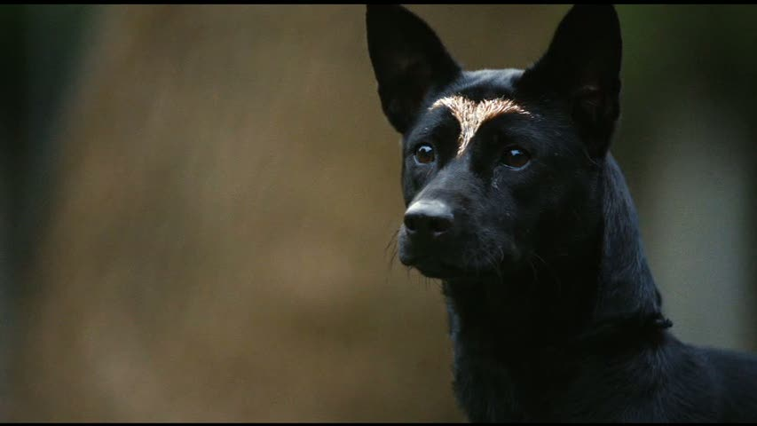 Formosan Mountain Dog