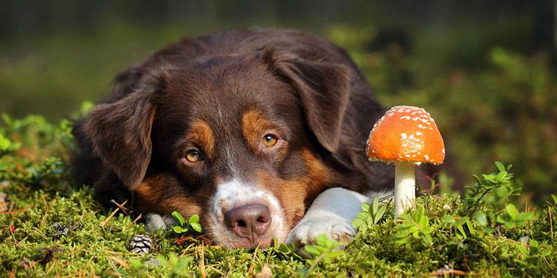 Dogs-Eat-Mushrooms