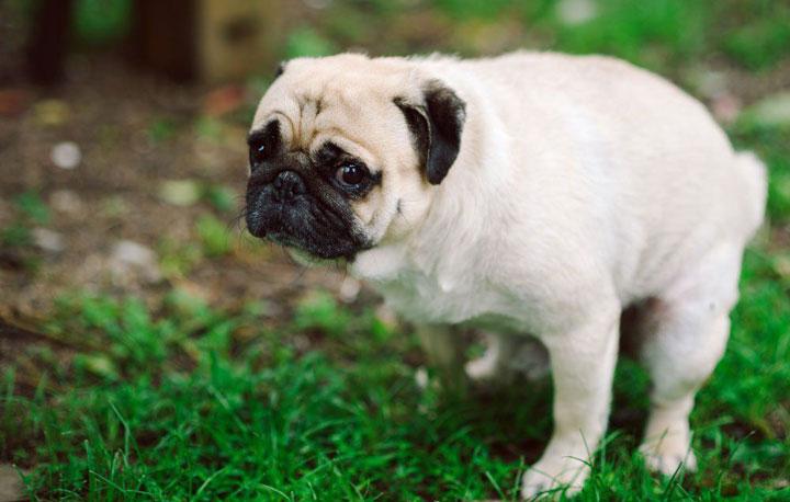 Mucus-in-Dog-Poop