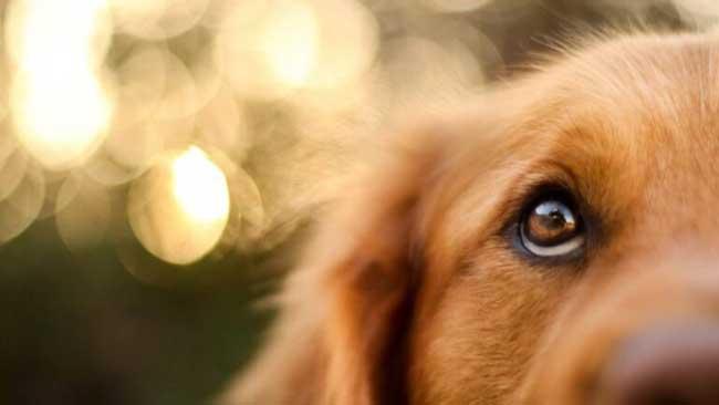 dog eye infection