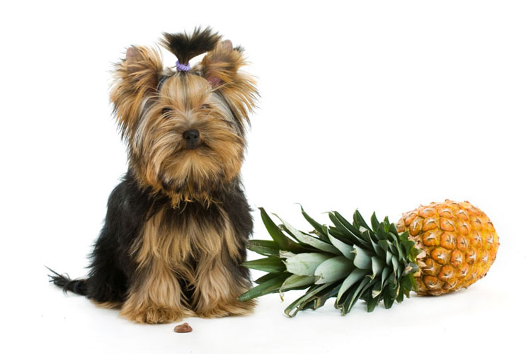 dog_and_pineapple_header