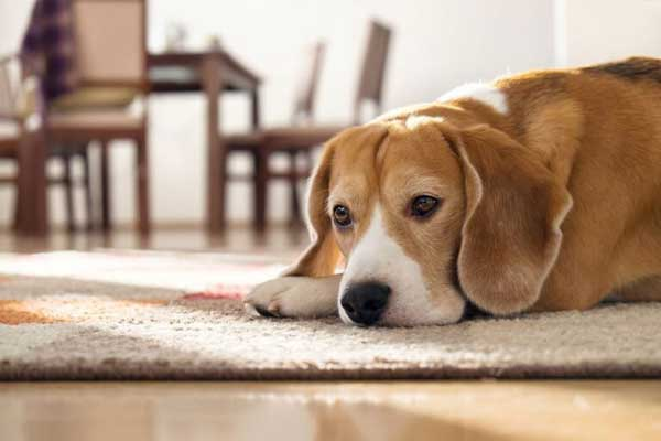 urinary-tract-infaction in dog