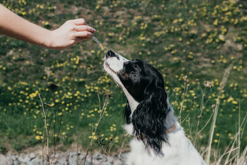 Hemp Oil vs. CBD Oil for Dogs