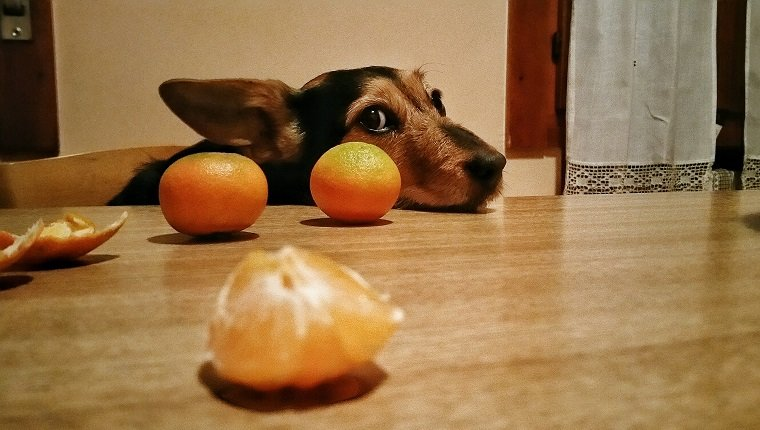 can dog eat oranges
